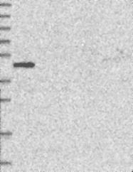 NBP1-82714 - GSG1