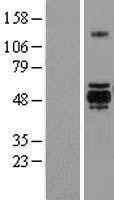 NBL1-11361 - GSK3 alpha Lysate