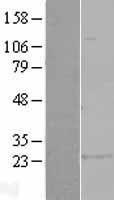 NBL1-11366 - GSTA1 Lysate
