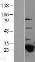 NBL1-11369 - GSTA4 Lysate