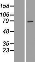NBL1-11370 - GSTCD Lysate