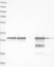 NBP1-83321 - GSTO1