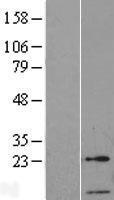 NBL1-11383 - GTF2A2 Lysate
