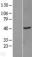 NBL1-12630 - GTF2H2D Lysate