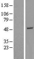 NBL1-11391 - GTF2H4 Lysate