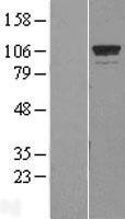 NBL1-11394 - GTF3C2 Lysate