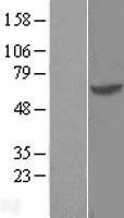 NBL1-11396 - GTF3C5 Lysate