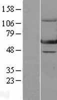 NBL1-10309 - GTP binding protein era homolog Lysate