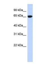 NBP1-57648 - GTPBP2