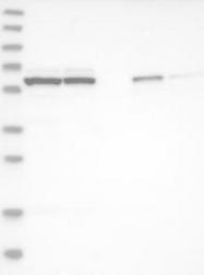 NBP1-85924 - GTPBP2