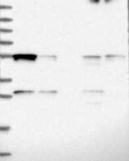 NBP1-91974 - GTPBP3 / MTGP1