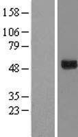 NBL1-11400 - GTPBP3 Lysate