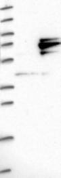 NBP1-85454 - GTPBP4
