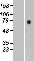 NBL1-11401 - GTPBP4 Lysate