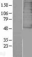NBL1-10963 - Galanin Receptor 3 Lysate