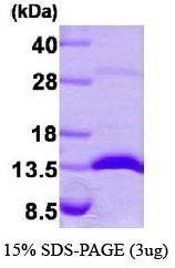 NBP1-30230 - Galectin-1