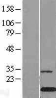 NBL1-09226 - Galectin 10 Lysate
