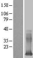 NBL1-12498 - Galectin 13 Lysate
