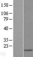NBL1-12500 - Galectin 2 Lysate