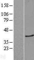 NBL1-12504 - Galectin 8 Lysate
