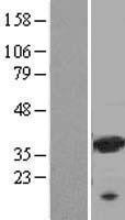 NBL1-12505 - Galectin 9 Lysate