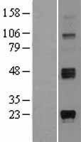 NBL1-16505 - Ganaglioside GD3 Lysate