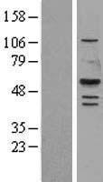 NBL1-12549 - LIPF Lysate