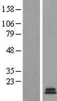NBL1-10978 - Gastrin peptide Lysate