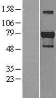 NBL1-10984 - Gata6 Lysate
