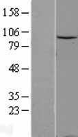 NBL1-09786 - Gemin 3 Lysate