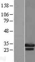 NBL1-11143 - Geminin Lysate