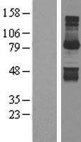 NBL1-11229 - Gephyrin Lysate