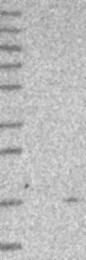 NBP1-89773 - Ghrelin / GHRL