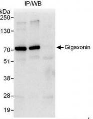 NBP1-49923 - Kelch-like protein 16