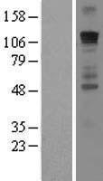 NBL1-11109 - Gli1 Lysate
