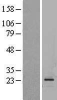 NBL1-11005 - Glucagon Lysate