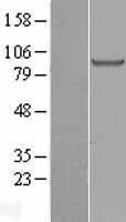 NBL1-11430 - Glucose 1-dehydrogenase Lysate