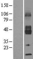NBL1-16102 - Glucose Transporter GLUT6 Lysate