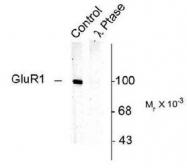 NB110-93482 - Glutamate receptor 1 / GLUR1