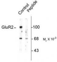 NBP1-28662 - Glutamate receptor 2 / GLUR2
