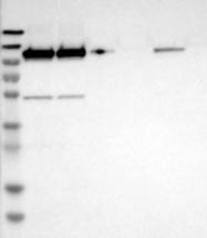 NBP1-91946 - Glutamate receptor 6 / GLUR6