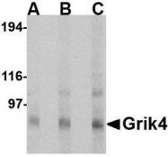 NBP1-76852 - Glutamate receptor KA1 / GRIK4