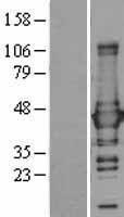 NBL1-11130 - Glutamine Synthetase Lysate