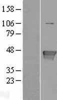 NBL1-11132 - Glutamine Synthetase Lysate