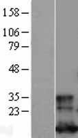 NBL1-11124 - Glutaredoxin 1 Lysate