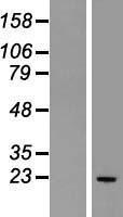 NBL1-11315 - Glutathione Peroxidase 2 Lysate