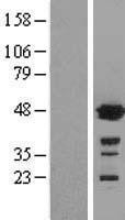 NBL1-11365 - Glutathione Synthetase Lysate