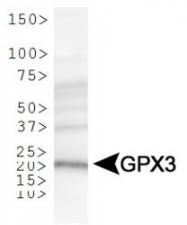 NBP1-06398 - Glutathione peroxidase 3 / GPX3