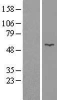 NBL1-11101 - Glycerol kinase Lysate