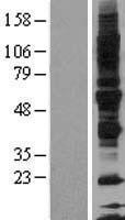 NBL1-11211 - Glycoprotein VI Lysate